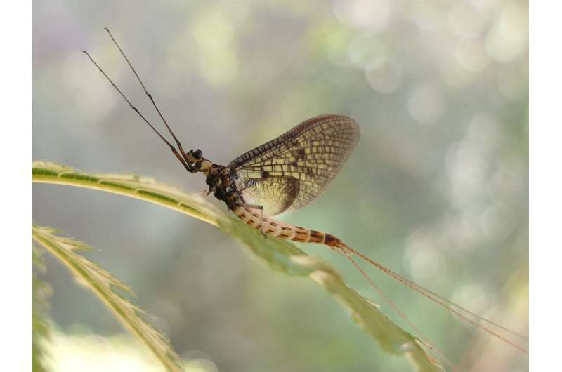 Brief buzz: Danish Mayfly named 2021 insect of the year