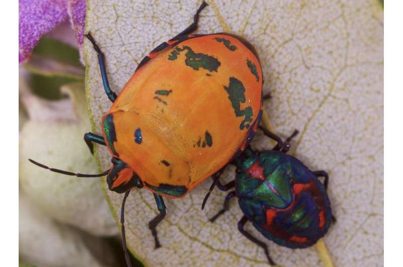 Bugs resort to several colours to protect themselves from predators