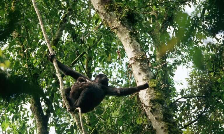 Bwindi baby boom brings welcome respite for beleaguered mountain gorillas