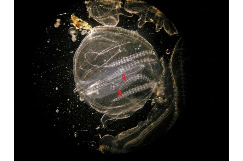 Cannibalism helps invading invertebrates survive severe conditions