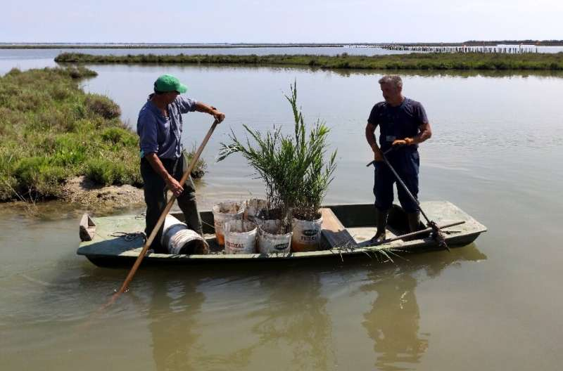Carlo Marchesi (L) and Adriano Croitoru replant reeds as part of a project to return the Venice lagoon back to its former wildli