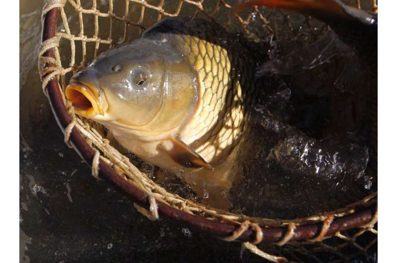 Carp from Europe were introduced into Groenvlei in South Africa in the 1800s and have proliferated so much that the lake's ecosy