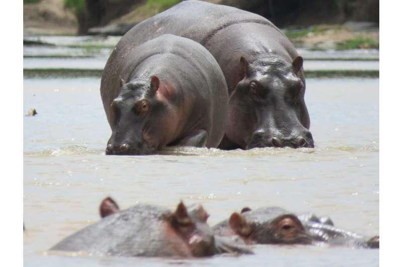 Cattle vs. hippopotamus: Dung in rivers of the Savannah