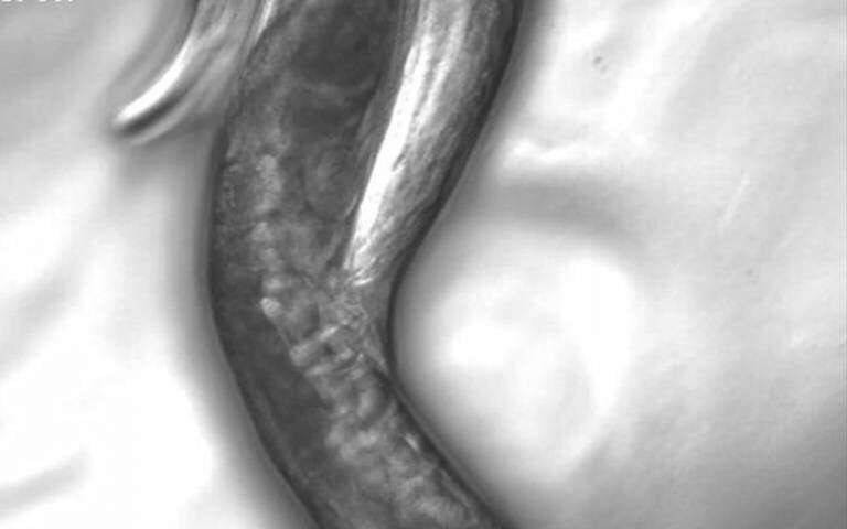 Cells transform themselves in male worms to improve mating