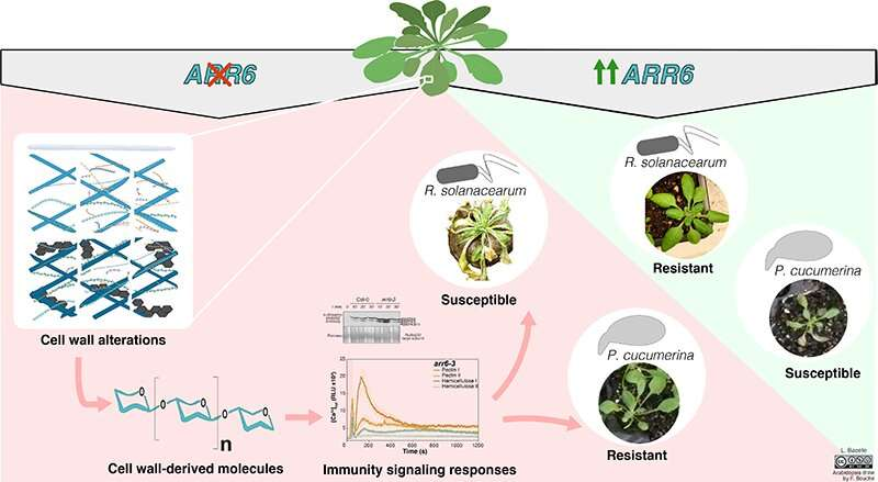 Cell wall research reveals possibility of simple and sustainable method to protect crops