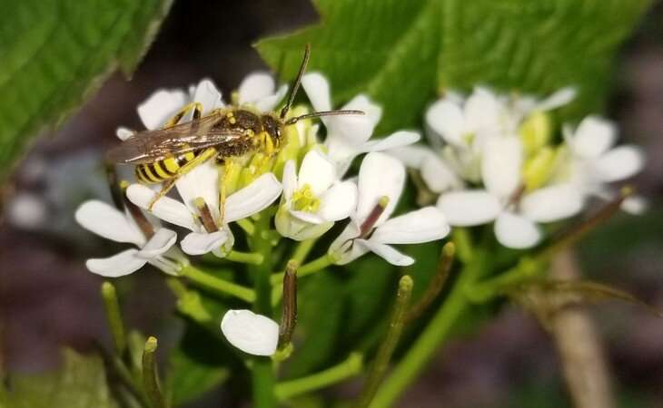 Checklist of Pa. bees documents 49 new species and some that may be endangered