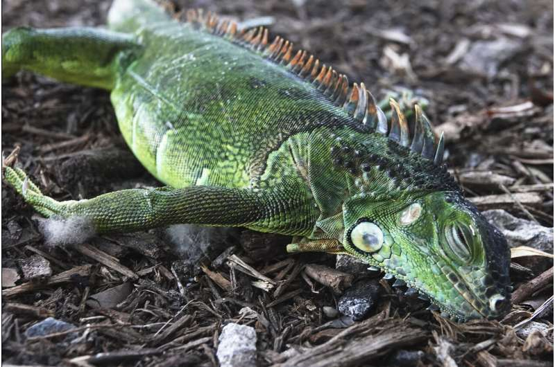 Chilly forecast, falling iguanas in store for Florida Xmas