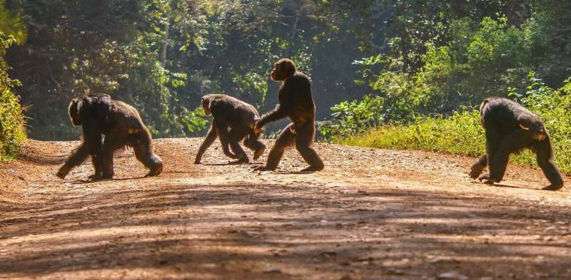 Chimpanzees in volatile habitats evolved to behave more flexibly