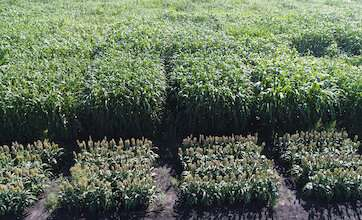 Corn and other crops are not adapted to benefit from elevated carbon dioxide levels