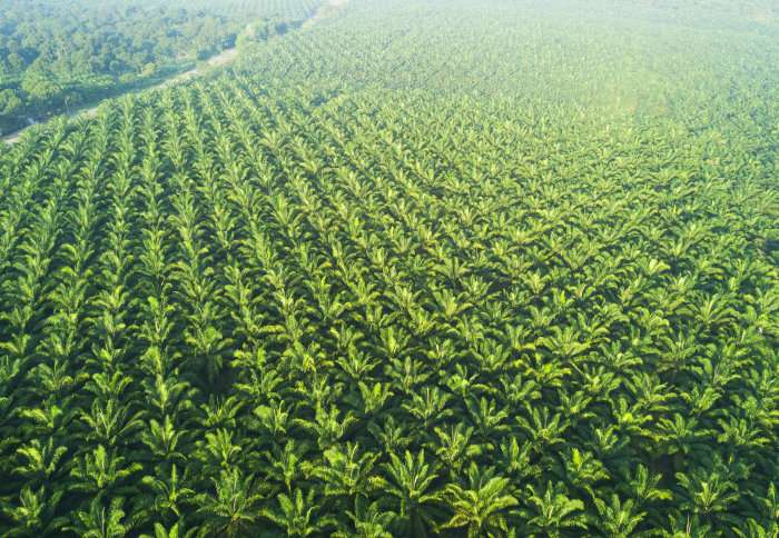 Could Africa have a sustainable palm industry?