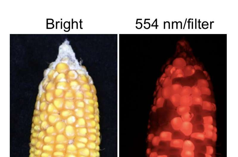 CRISPR enables one-step hybrid seed production in crops