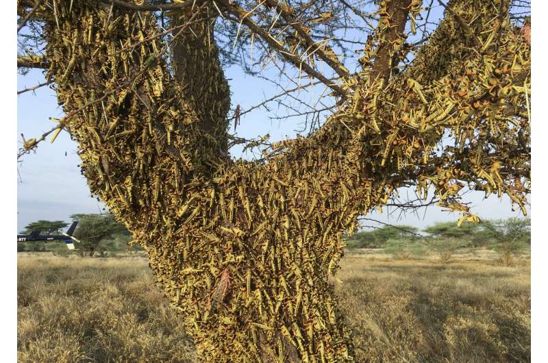 Crunch, crunch: Africa's locust outbreak is far from over