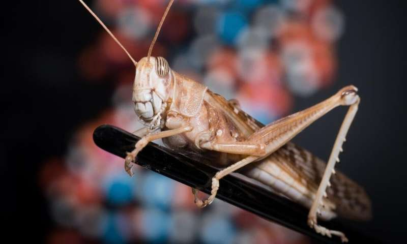Decoding gigantic insect genome could help tackle devastating locust crises