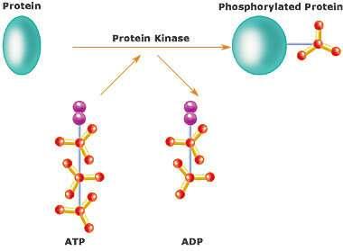 Defeating pathological autoimmunity with kinase inhibition