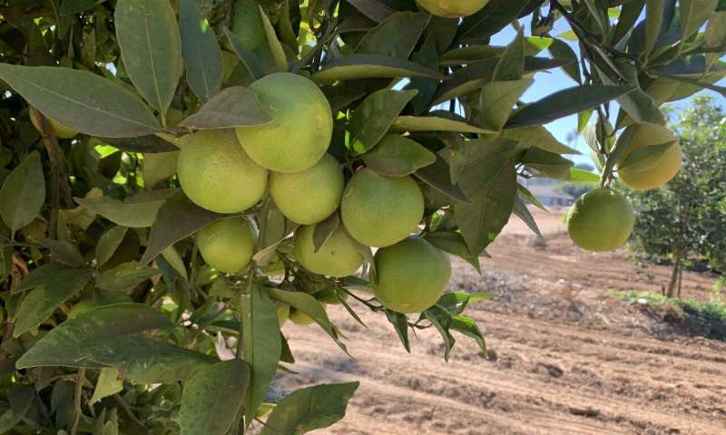 Delicious and disease-free: scientists attempting new citrus varieties