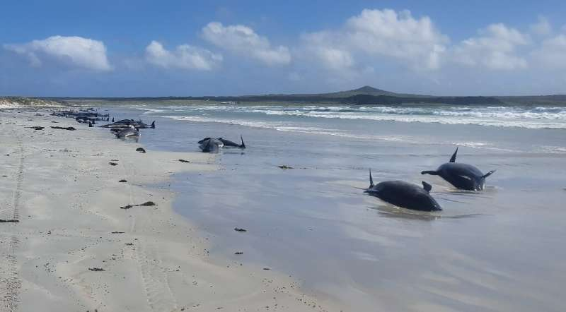Department biodiversity ranger Jemma Welch said 69 whales had already died by the time wildlife officers reached the beach