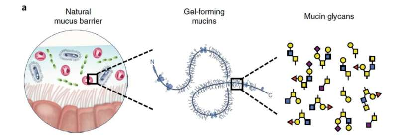 Disarming bacteria with mucus and phages