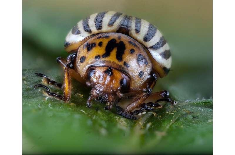 Discovery: How Colorado potato beetles beat pesticides