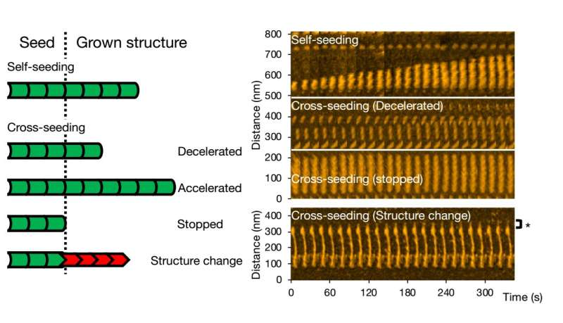 Diverse amyloid structures and dynamics revealed by high-speed atomic force microscopy