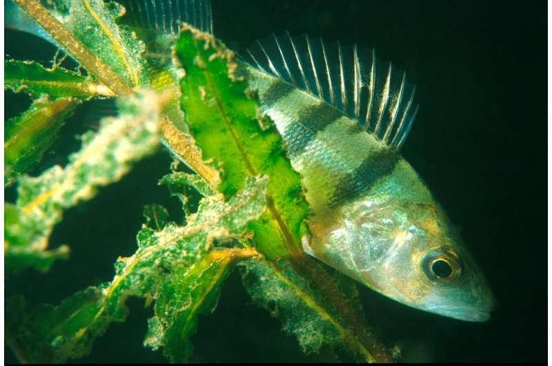 Do urban fish exhibit impaired sleep?