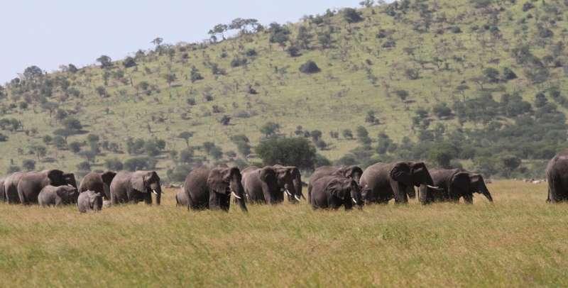 Elephant genetics guide conservation