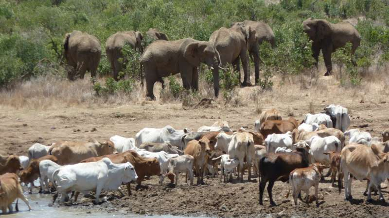 Elephants reverse the cattle-caused depletion of soil carbon and nutrient pools