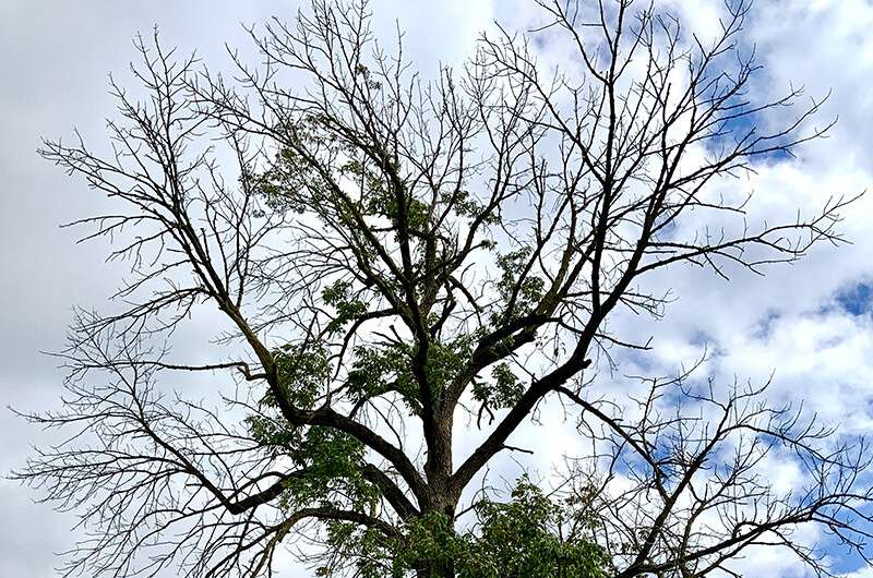 Emerald ash borer puts trees on path to functional extinction