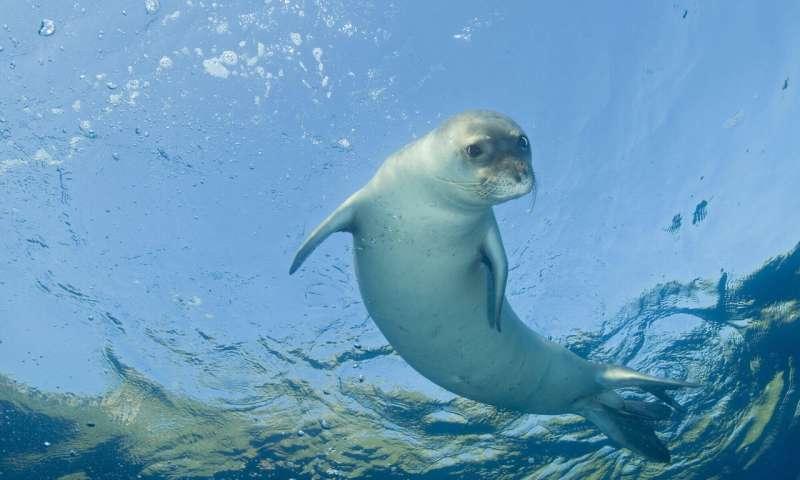 Endangered Mediterranean monk seals aided by unique intervention