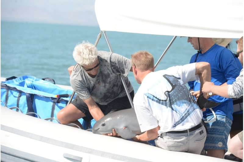 Endangered vaquita remain genetically healthy even in low numbers, new analysis shows
