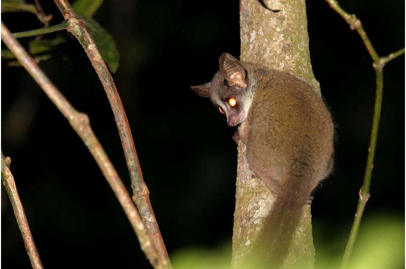 Enigmatic small primate finally caught on film in Taita, Kenya