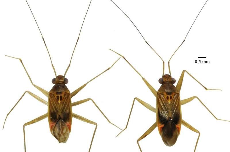 Entomologists from SPbU discover a rare species of tropical Heteroptera with long antennae