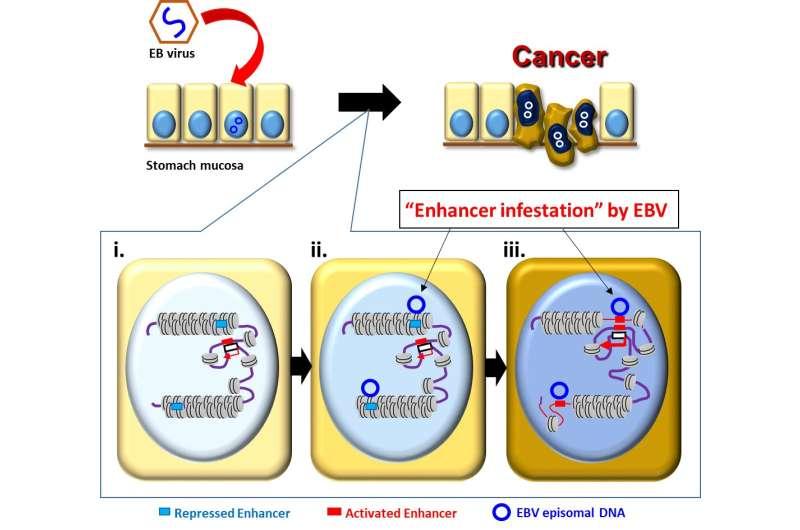 Epstein-Barr virus rewires host epigenomes to drive stomach cancer