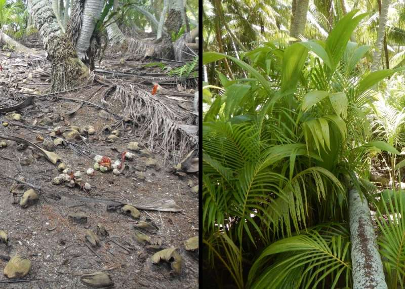 Eradicating black rats on Palmyra Atoll uncovers eye-opening indirect effects