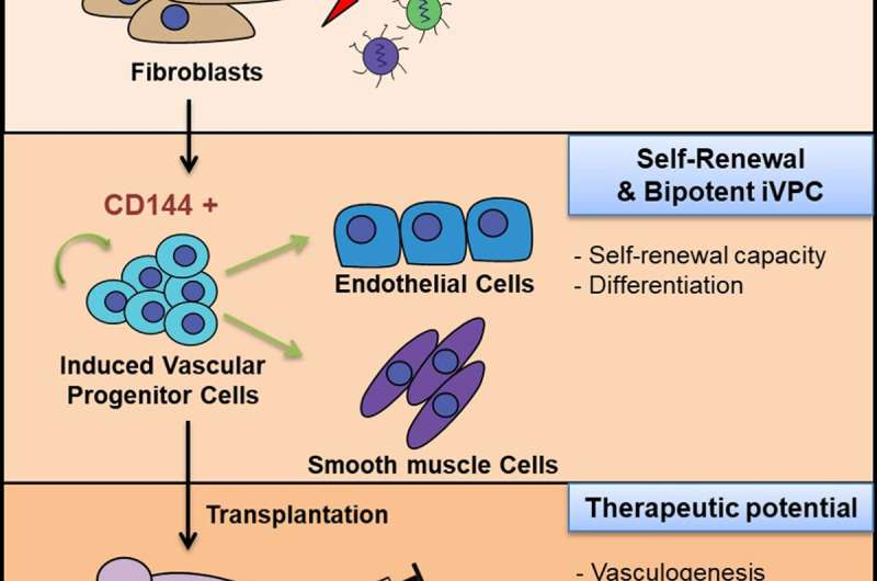 Etv2-and Fli1-induced vascular progenitor cells enhance functional recovery in ischemic vascular disease model
