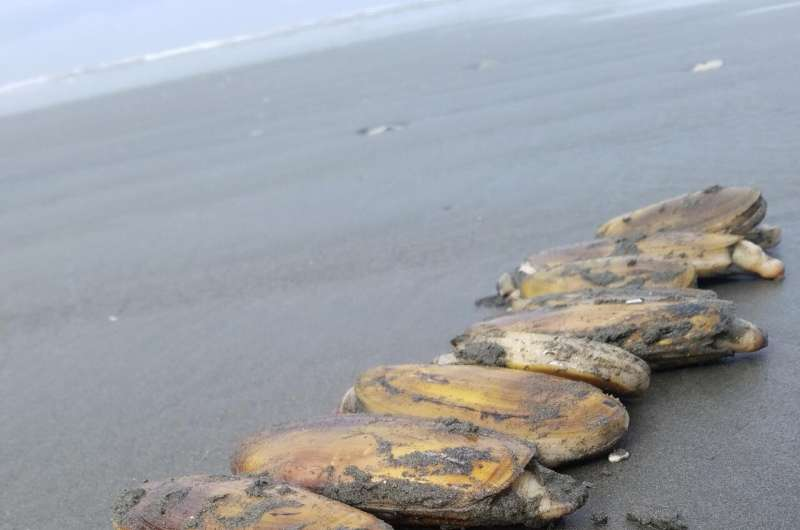 Even razor clams on sparsely populated Olympic Coast can't escape plastics, study finds