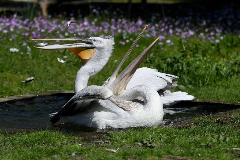 Experts hope Albania's lockdown will help vulnerable birds, including pelicans (pictured), boost their numbers