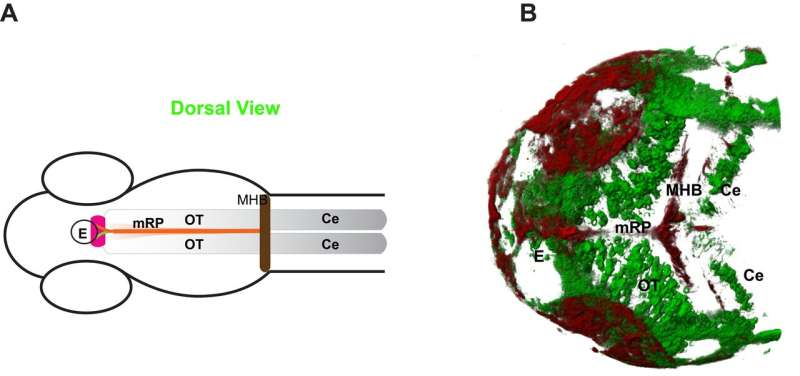 Expression, diffusion and molecular interactions determine Wnt3 distribution