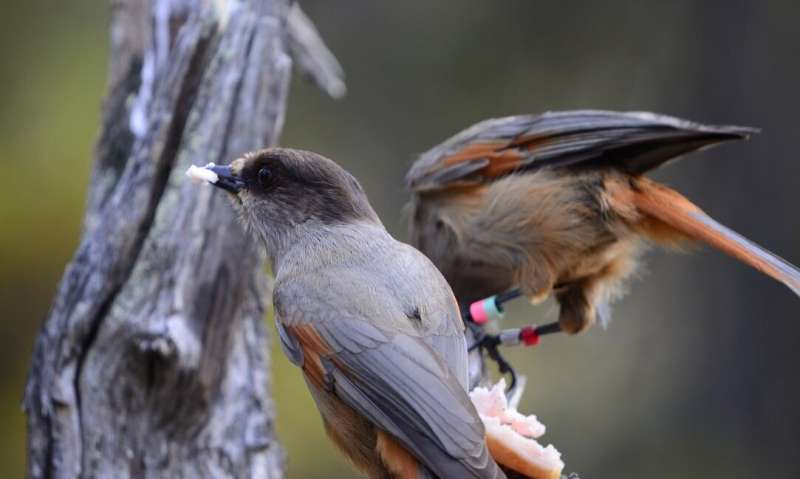 Extended parenting helps young birds grow smarter