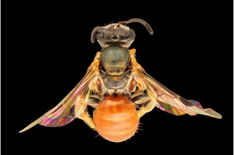 Fancy Aussie bees flew in from Asia