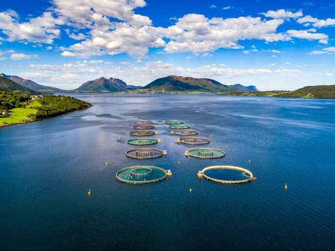 Farmed salmon under threat? The effect of rising sea temperatures on Atlantic salmon production