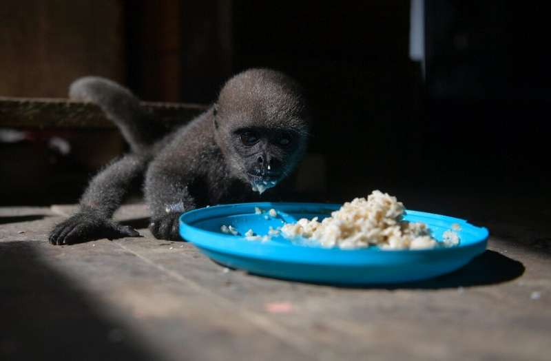 Feeding time for an infant woolly monkey at a Maikuchiga refuge