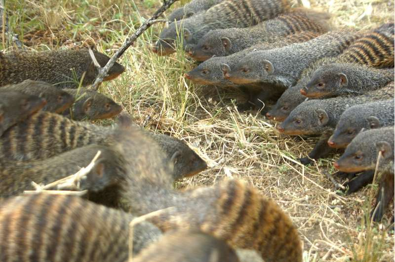 Female banded mongooses lead battle for chance to find mates