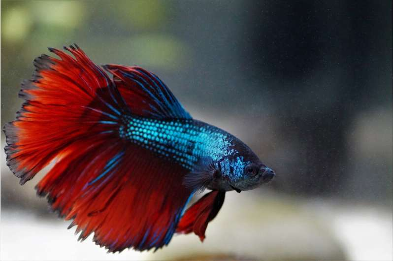 Fighting fish synchronize their combat moves and their gene expression