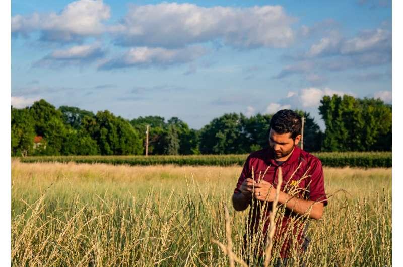 First food-grade intermediate wheatgrass released
