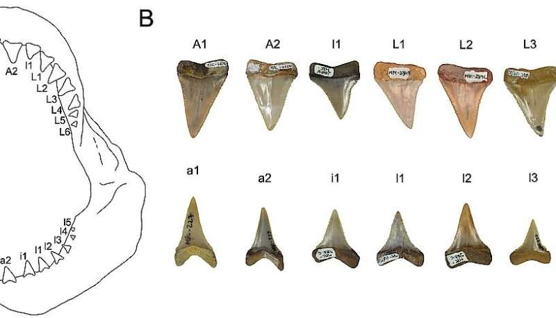First fossil nursery of the great white shark discovered