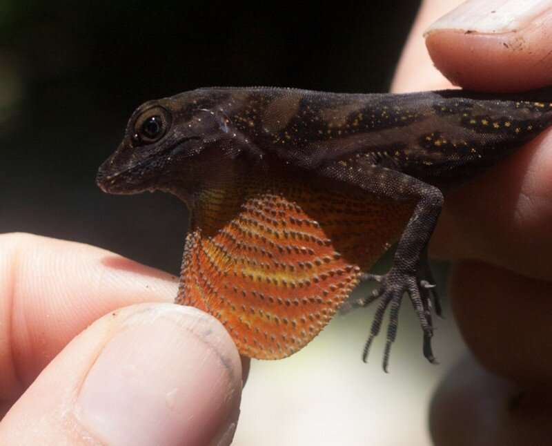 Flashy lizards are more attractive to mates and to predators