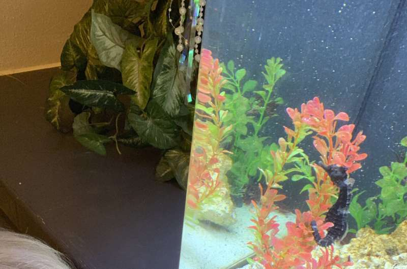 Florida vet school uses novel approach to save seahorse