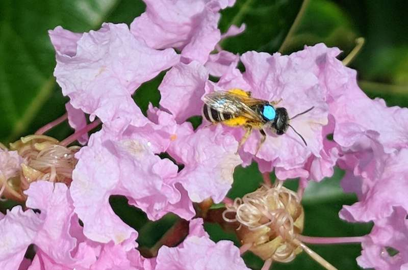 Flower faithful native bee makes a reliable pollinator