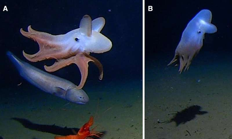 Footage captured of cephalopod at deepest ocean level ever observed