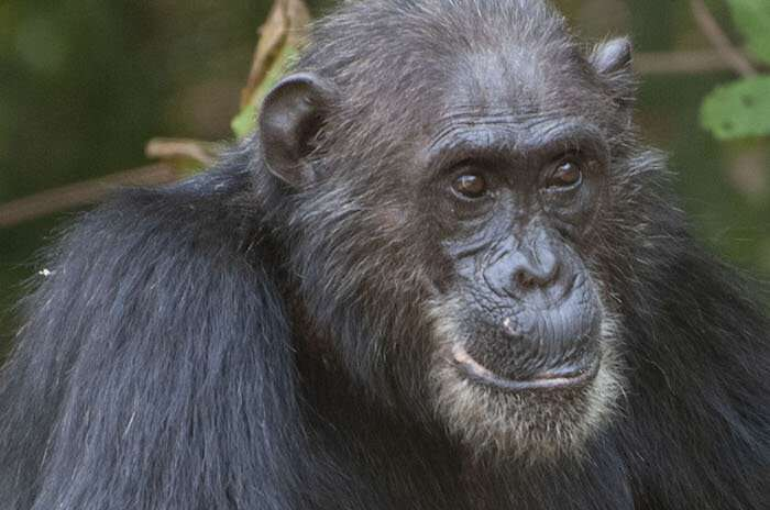 For chimpanzees, salt and pepper hair not a marker of old age